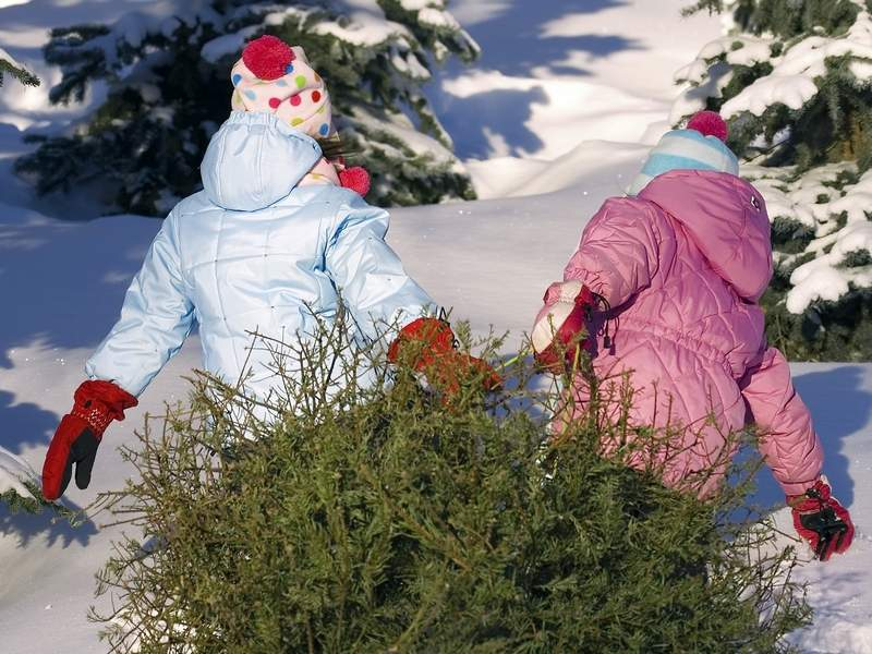 two young girls drag a pine tree