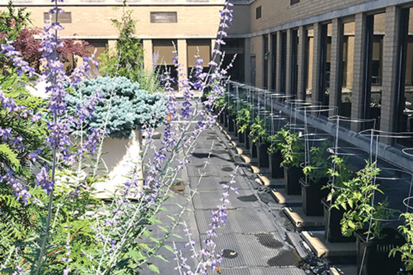 Veggies growing on St. Clair Hospital's roof.